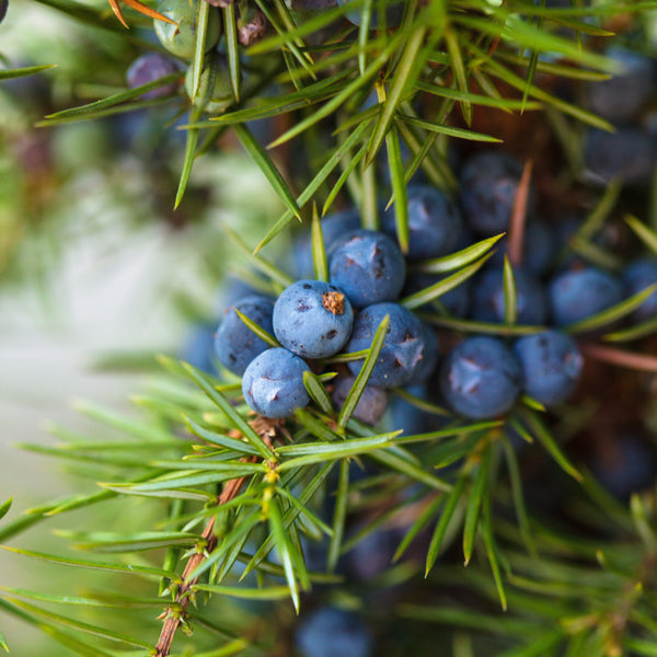 Five Health Benefits of Juniper Essential Oil and How to Use it.