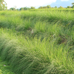 Vetiver plants