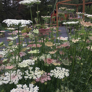 6 pack: Queen Anne's Lace (dara)