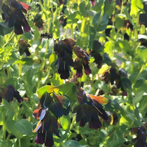 6-pack: Honeywort (cerinthe major)
