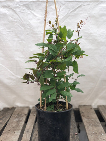 1 gallon - Cup and Saucer Vine