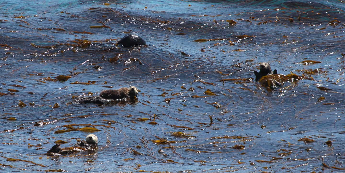 Sea otters off the Big Sur coast