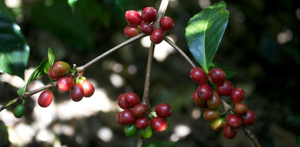 Coffee cherries growing at Hacienda La Esmeralda