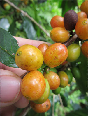 Coffee ripening on the tree