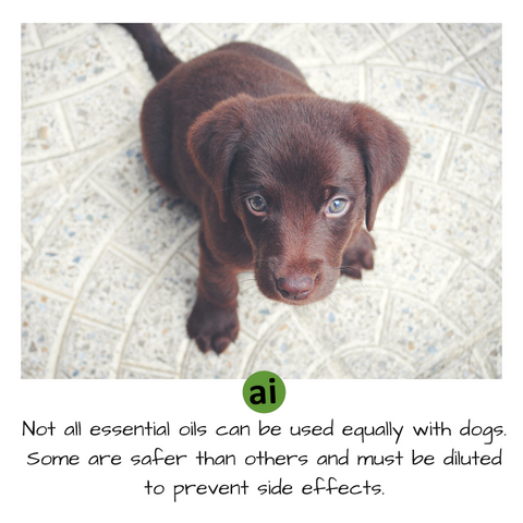 Not all essential oils can be used equally or liberally with dogs and cats. Some are safer than others, and certain oils must be heavily diluted to prevent side effects.