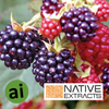 Blackberry Extract - Aromatic Ingredients