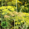 Dill Weed Essential Oil - Aromatic Ingredients