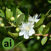 Lemon Myrtle Fragrance - Aromatic Ingredients
