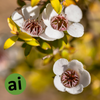 Manuka Essential Oil - Aromatic Ingredients