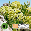 Sea Fennel Extract - Aromatic Ingredients