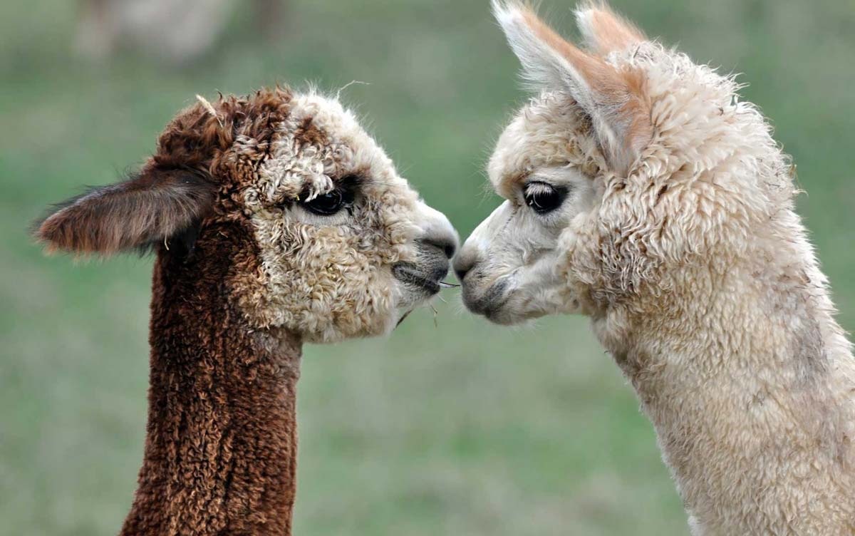 Alpacas are sustainable and make the best winter clothing