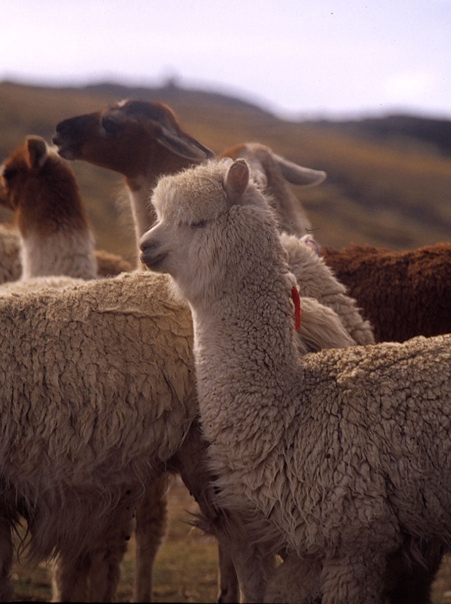 Alpaca Herds in Peru | Sustainable clothing made from free range alpaca wool