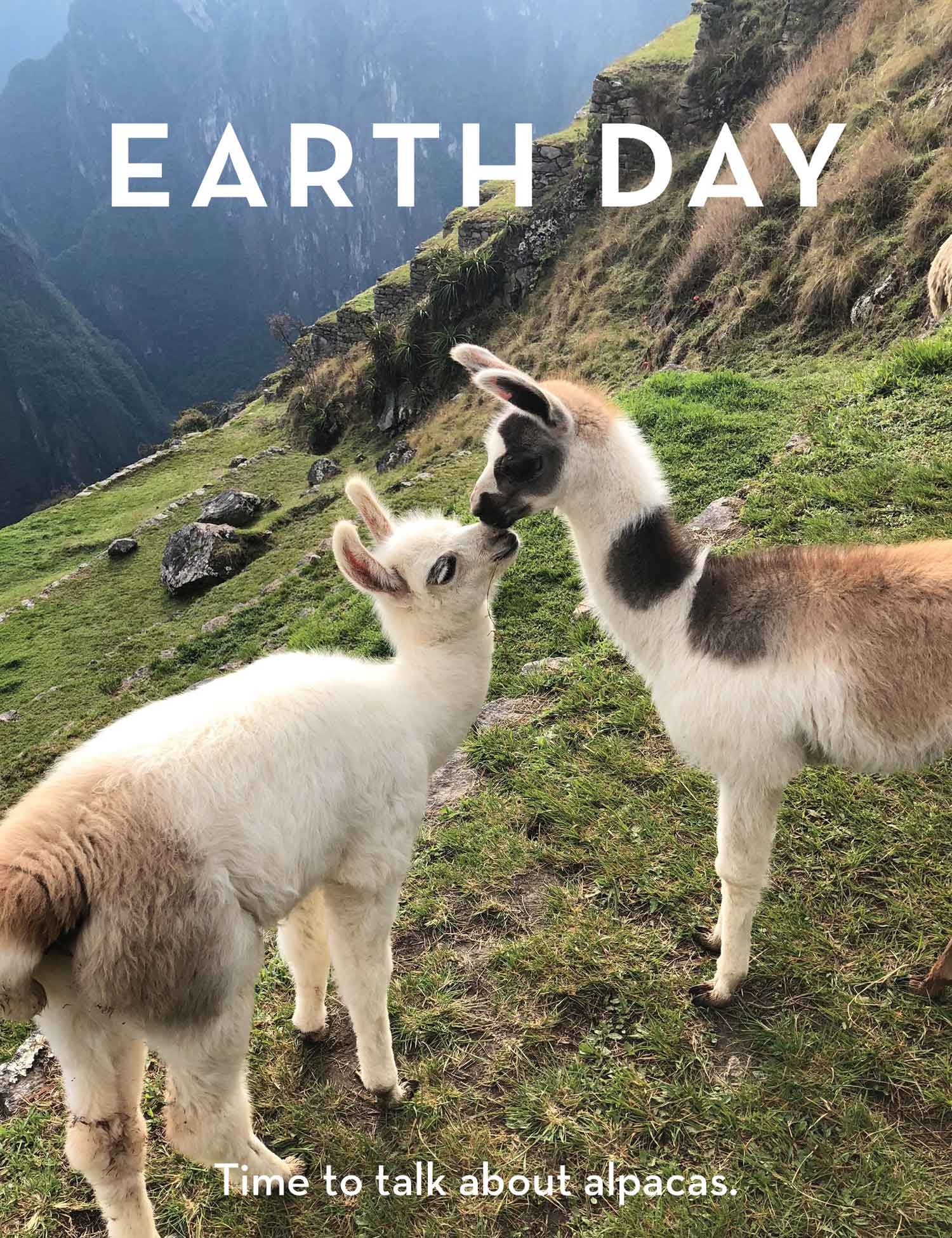 Earth Day - Alpacas of the South American Highlands and How You Can Help