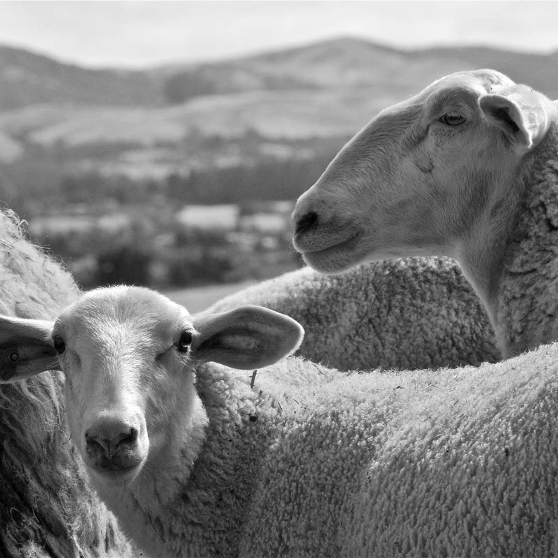 Heritage sheep create unique sustainable pillows and blankets | JG Switzer