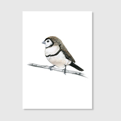 Double Barrelled Finch Art Print