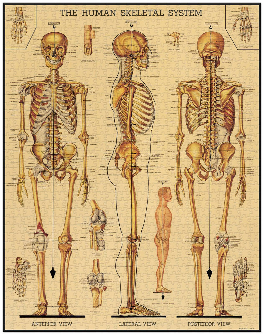 Vintage Puzzle - Skeletal System Cavallini and Co | Shelf home and gifts