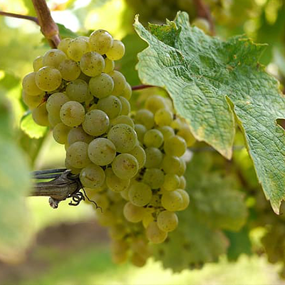 Grape School: Riesling Part One Get to Know the Grape