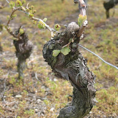 The Truth About Old Vines