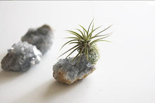 Celestial Crystal Air plant