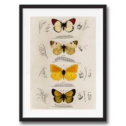 Butterflies illustration retro vintage animal wall art print framed and unframed