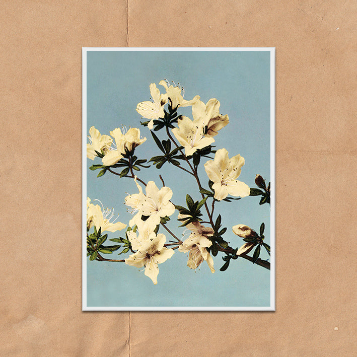 White and Blue Momo vintage floral photography art print unframed and framed