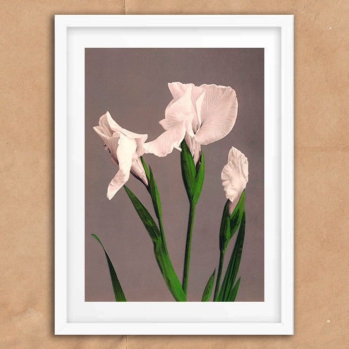 White Iris flower vintage floral photography art print unframed and framed
