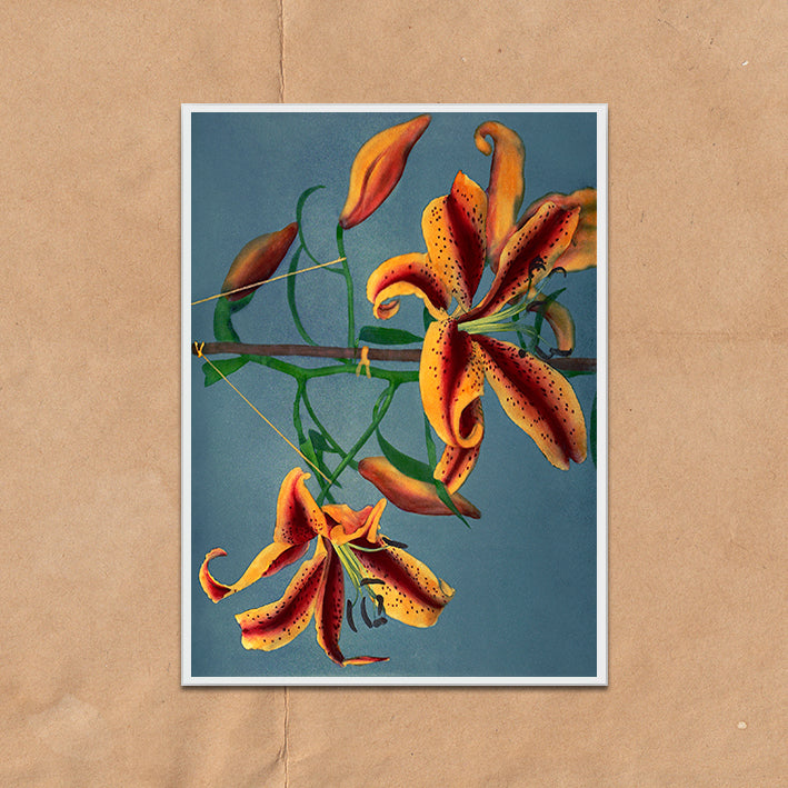 Orange Lily Flower blue backdrop vintage floral photography art print unframed and framed
