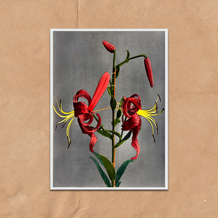 Red Lily Flower vintage floral photography art print unframed and framed