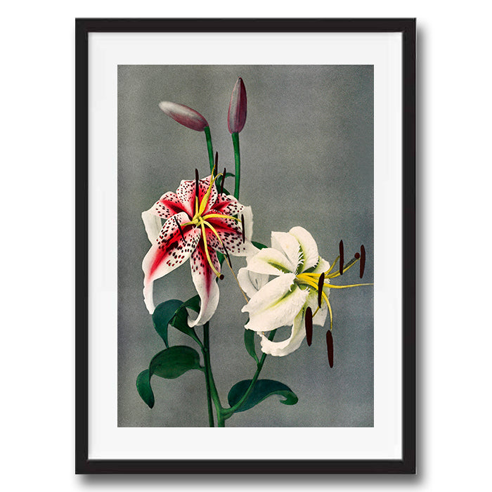 White Pink Lily Flower vintage floral photography art print unframed and framed