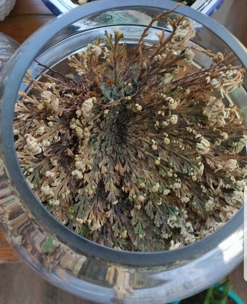 Smudges- Rose Of Jericho (1)