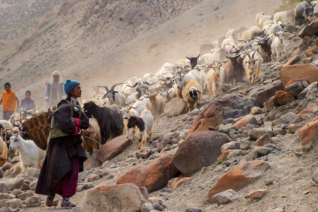 Ladakh, Goats, Cashmere, the Changtang and Modi