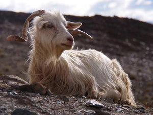 Cashmere Shawls and Himalayan Goats
