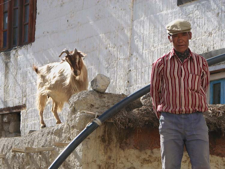 man and goat, dankhar, spiti