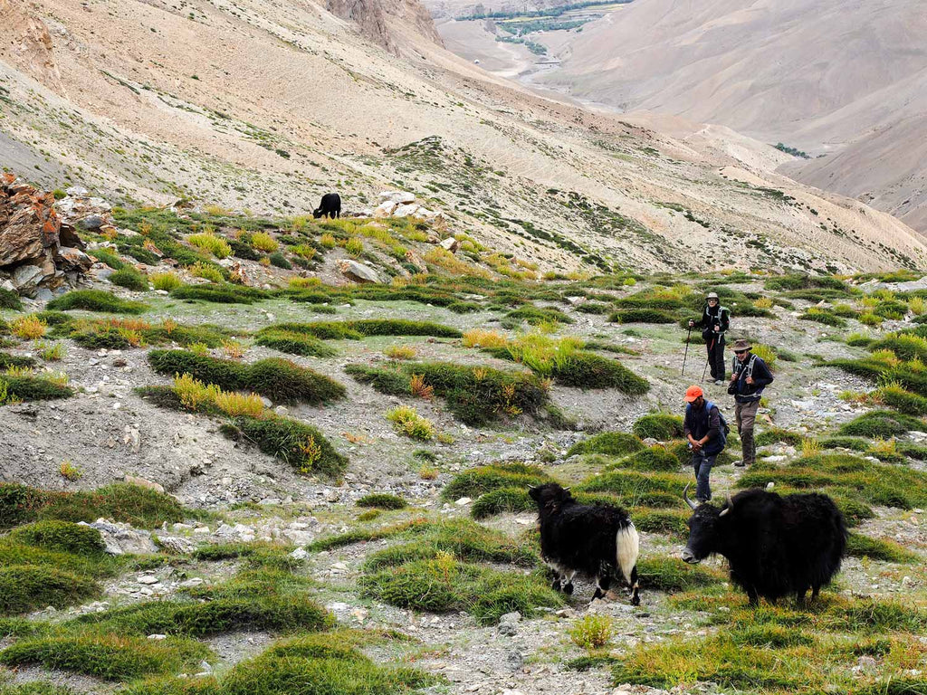 Trekking in Ladakh from Gyal to Kanji, Yaks below the Sarbantan La