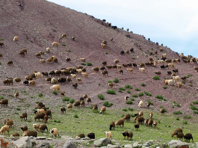 flocks crossing the hillside near the matho la, ladakh