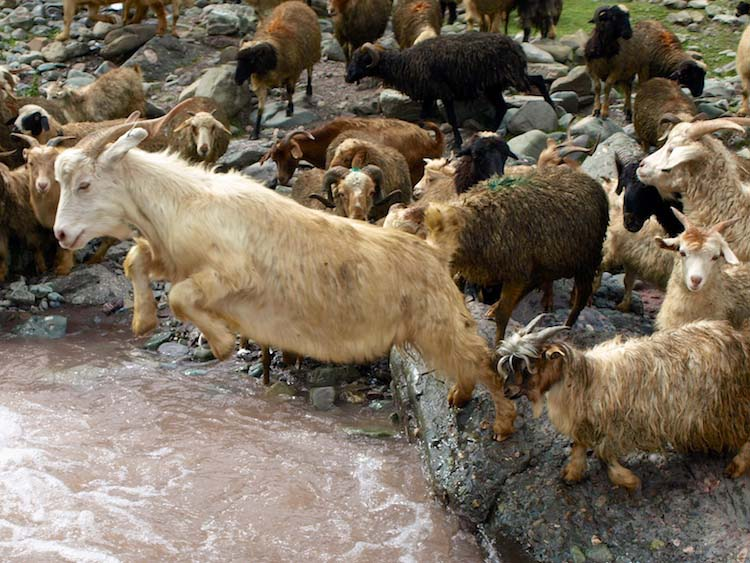 goats jumping the stream, matho la, ladakh