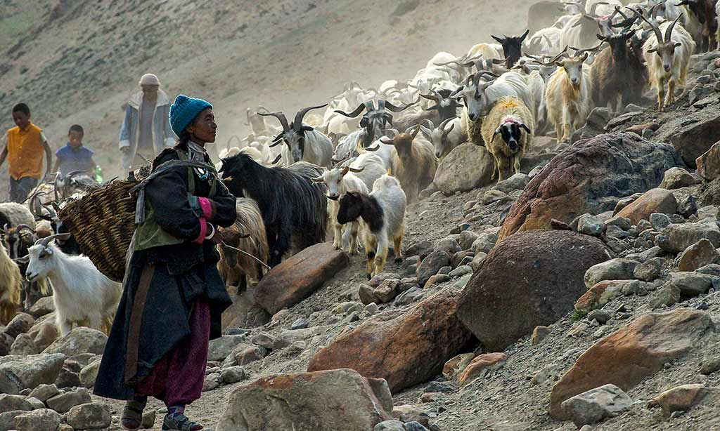 Bringing in the goats, Hanupatta, Ladakh