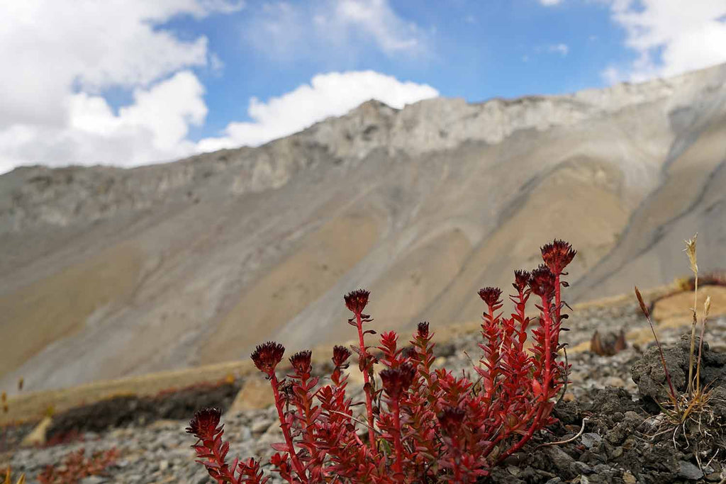 Flowers of Ladakh 6