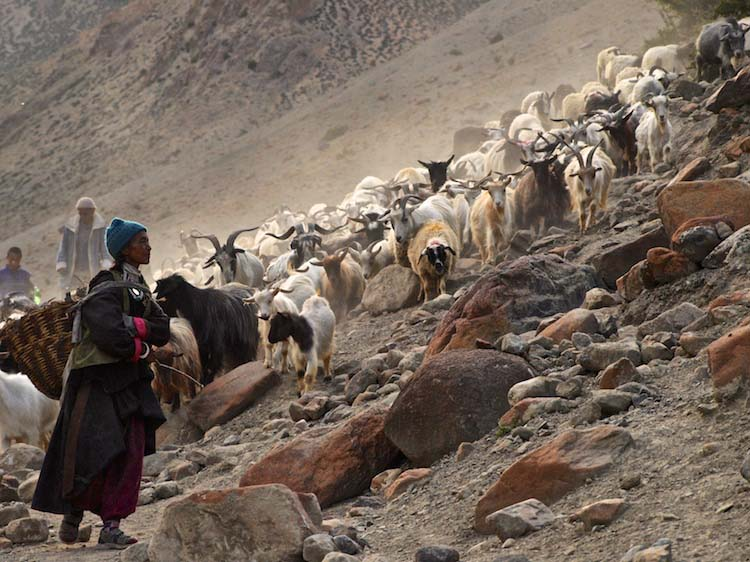 bringing in the goats at hanupatta, ladakh