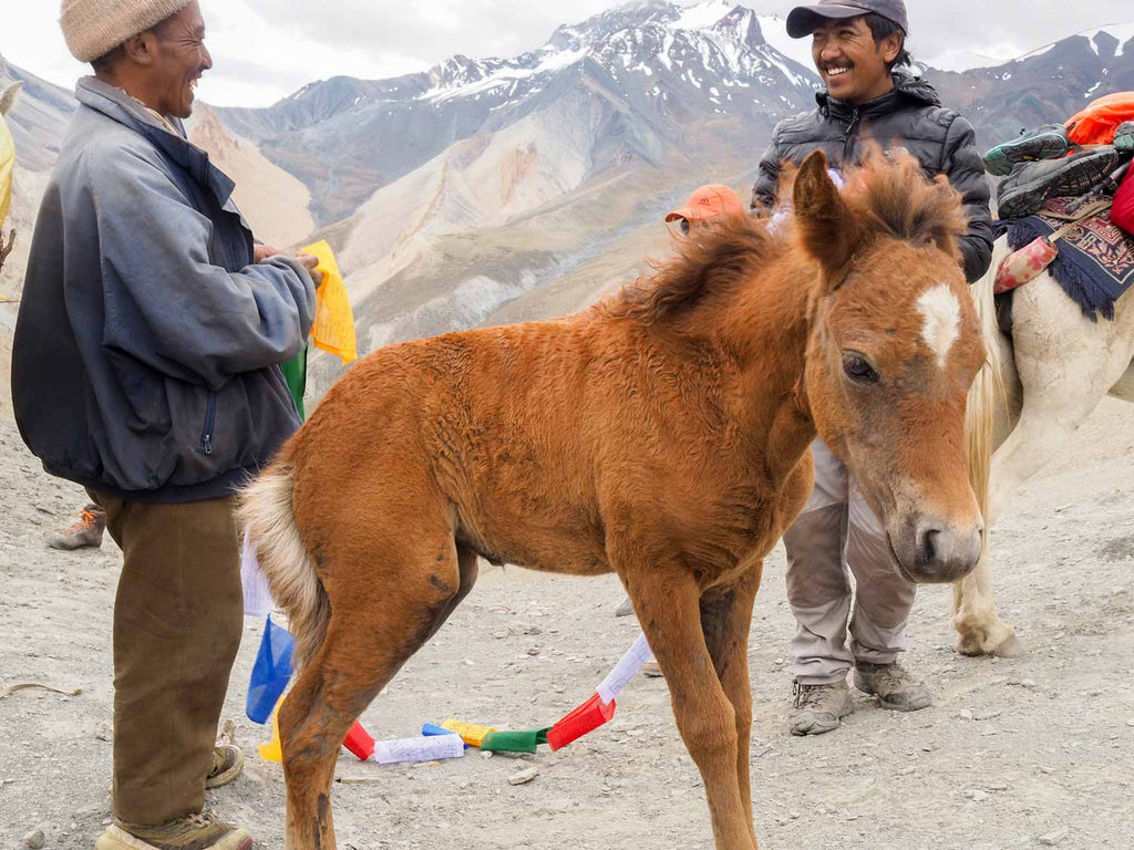 New Pony, Yogma La, Ladakh