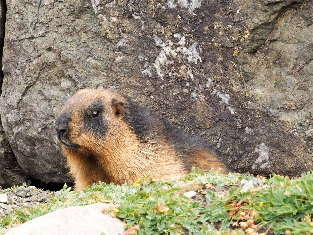 Marmot at our camp, Ladakh