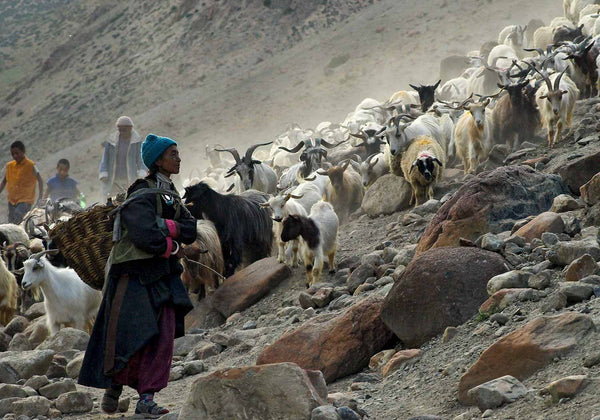 Bringing in the Goats at Hanupattav