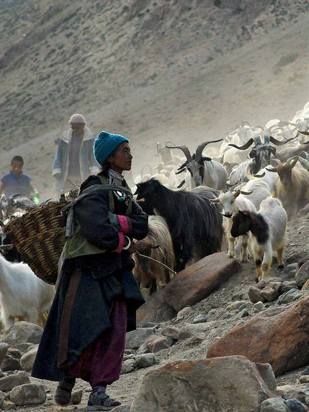 Bringing in the Goats at Hanupatta detail