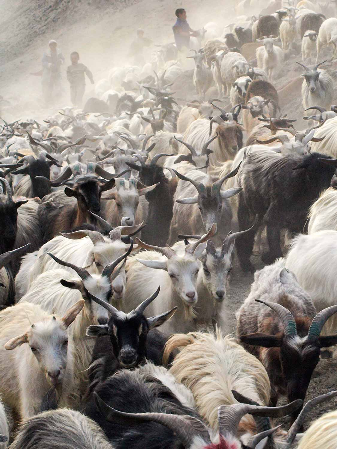 Bringing in the Goats at Hanupatta 2 | Photos of Ladakh