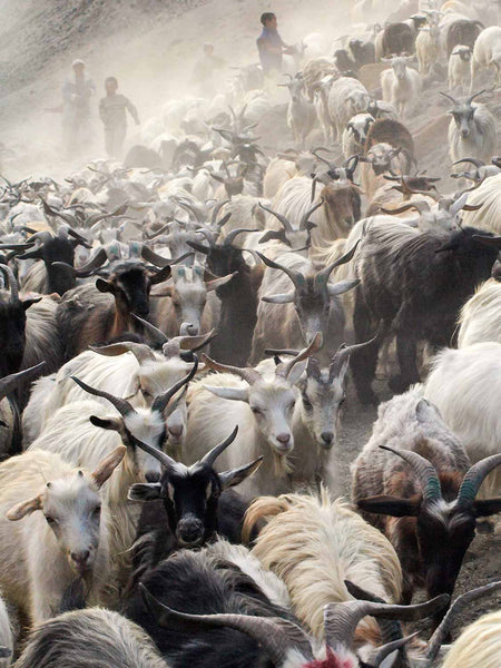 Photos of Ladakh: Bringing in the Goats at Hanupatta 2 |