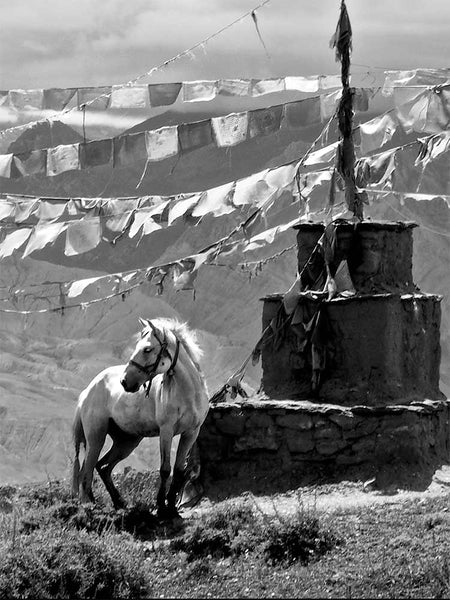 White Mustang Horse on the hills of Nepal