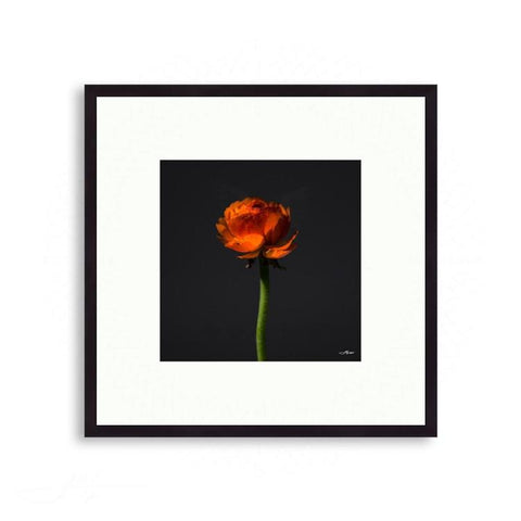 Fauna & Flora - Orange Ranunculus against Dark Grey | Limited Edition - jspfinearts