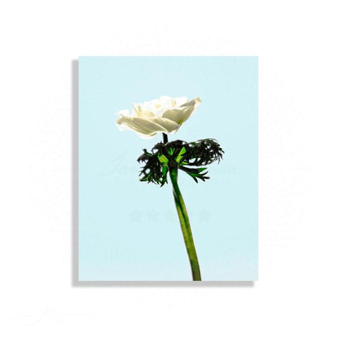 Fauna & Flora - Single Anemone In Soft Light | Limited Edition - jspfinearts