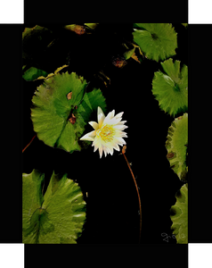 Water Lilies of The NYBG, The Shy Yellow Lily By Gio - Stretched canvas print ready to hang