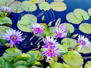 Water Lilies of The NYBG, The Lilies and their Guest By Gio - Stretched canvas print ready to hang